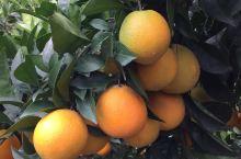 安远的脐橙