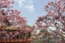 宝墨园的中国樱花