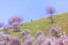春染吐尔根杏花沟 l 伊犁河谷的4月,千年的野杏花开遍山野