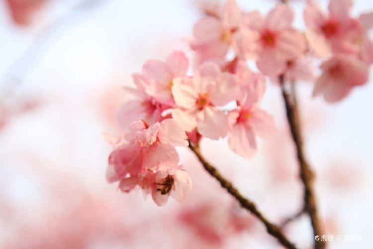 우한 벚꽃2
