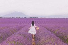 普罗旺斯的夏天是紫色的