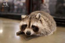 拔草首尔治愈系小浣熊咖啡厅-Raccoon Cafe
