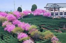 比日本樱花更美!国内这个小县城里竟藏着一个世界级赏樱胜地!