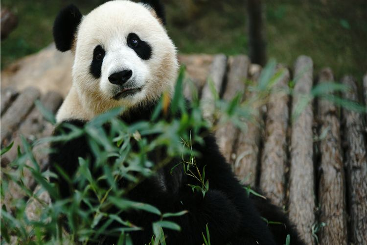 Panda Pavilion 1