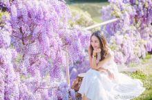 一抹紫💜还只知道歌剧院?悉尼的春天有浪漫缤纷的紫藤花