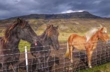 出了国就不能回来的冰岛马