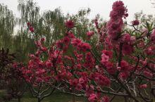 南长河公园的花儿之五 应该是榆叶梅的一种,大部分品种的榆叶梅已经开过了,这种还在盛期。花期一如人之青