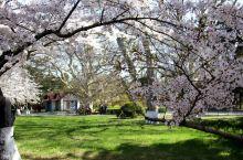 #春日寻芳#青岛的四月樱花季
