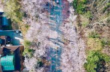 仁川大公園的櫻花雨下...(還有航拍哦)