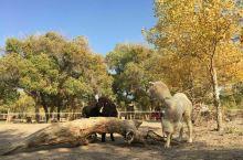 今日分享胡杨林羊驼一枚😜