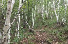 美丽的白桦林