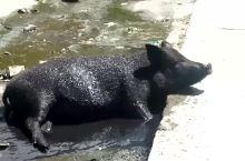 川藏线318上的无赖与美味――藏香猪