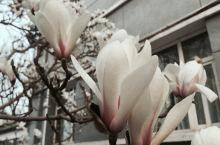 北京·中国 北京侨园饭店的玉兰花