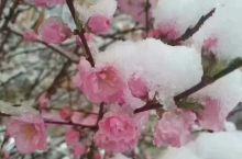 夏•雪〔五月飞雪雪压花〕