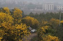 被黄花风铃木环绕的小村庄