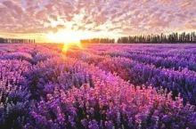 不用飞去普罗旺斯!国内这8个地方的薰衣草一样美到哭!