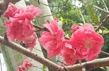 #春日寻芳#朵朵桃花开 三月春分时节,万物复苏,各式鲜花盛开。瞧!百年老校内桃花园中的几株桃花树上,