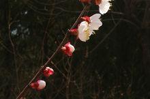 香山花开 今天是三月的最后一天,北京天气不错,踏青的人较多。 杏花,梨花已经盛开。桃花几天后盛开。