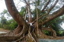 见识广西乃至中国最大的榕树