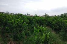 湛江廉江采摘柑橘果园