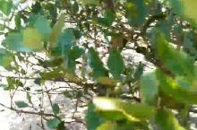 湛江海滨路红树林