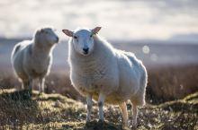 黑脸的羊都叫肖恩羊,又呆又胆小