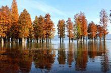 四明湖紅杉林