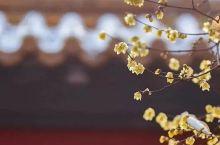 暗香浮动,金陵城的蜡梅悄悄开啦!赏梅的行程可以安排上了!