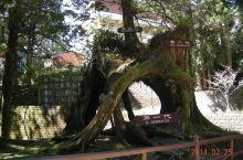 三代木,😄台湾阿里山
