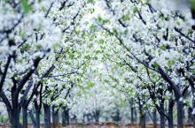 万亩梨花,在此开放……