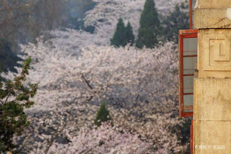 우한 벚꽃3