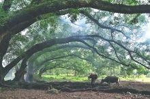 杨家溪的大榕树下见