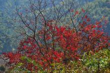 秋,梅岭叶黄了红了花儿开了