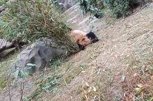 四川成都大熊猫繁殖基地