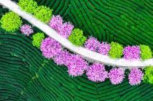"""还去日本看樱花?福建的樱花园比日本大5倍 """"三月樱花烂漫时,满园赏客似云织""""。又到了看樱花的时节,春"""