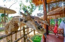 越南最大的富国岛野生动物园里,有家互动尺度非常大的长颈鹿餐厅