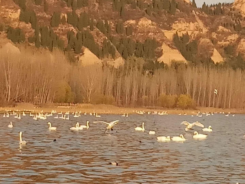 三门峡天鹅湖景区_三门峡天鹅湖国家城市湿地公园攻略,三门峡天鹅湖国家城市湿地 ...