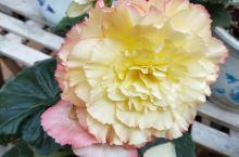球根秋海棠,花厅里的颜值担当