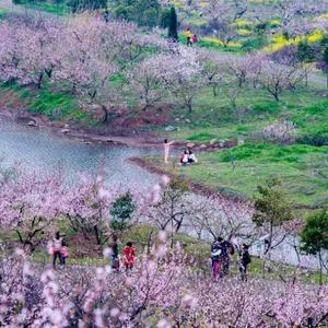 隆安游记图文-全国的早樱开了,不能出门在家云赏花
