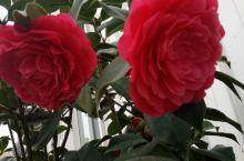 好像大红花