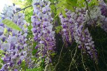 纤纤柔条蔓,紫铃鸣香春