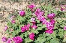 中国食用玫瑰之乡的食用玫瑰🌹