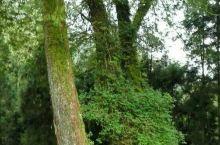 阿里山森林。