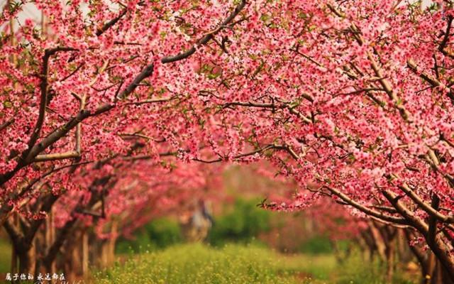 #冬季北京#世界最大桃园:人面桃花相映红