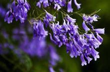 美丽的蓝花楹