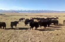 青藏高原牦牛