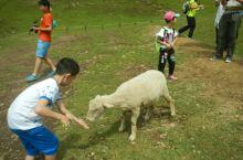 #瓜分10000元#清境农场的绵羊