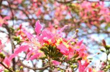 南沙秋樱胜地,秋冬开始在百万葵园绽放粉红少女心