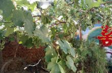 硕果累累的葡萄树