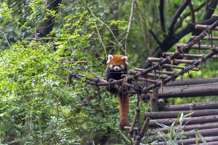 Chengdu Research Base of Giant Panda Breeding2